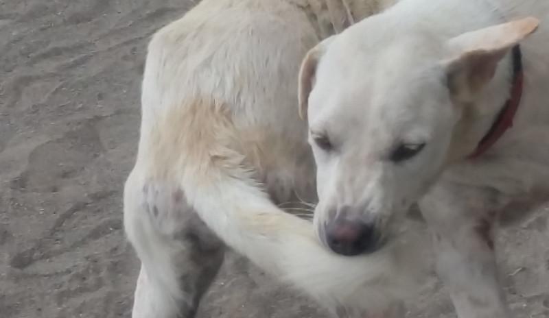 Demodex-hond-puppyschurft