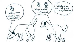 Giardia-hond