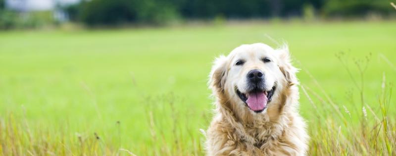 Labrador-mooi