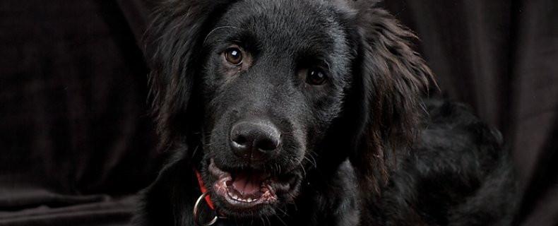 groeipijn-enostosis-jonge-hond