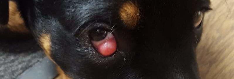 Cherry-eye-hond