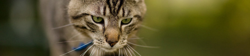 Leververvetting-kat