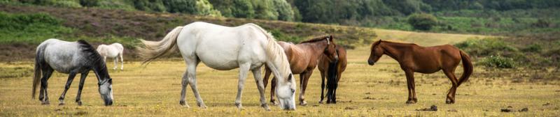 Jacobskruiskruid-paarden