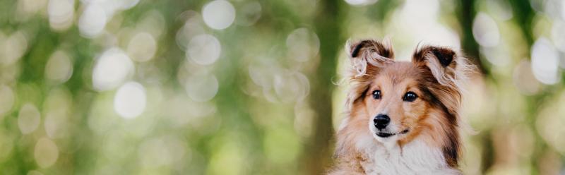 MDR1-Gen-Mutatie-Medicijnovergevoeligheid-Hond-Collie